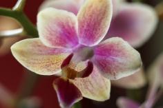 Macro - Orchid.